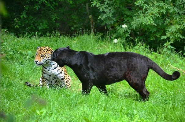 the-black-leopard-4