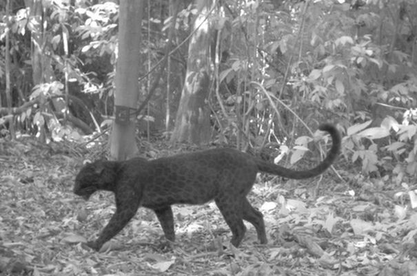 the-black-leopard-5