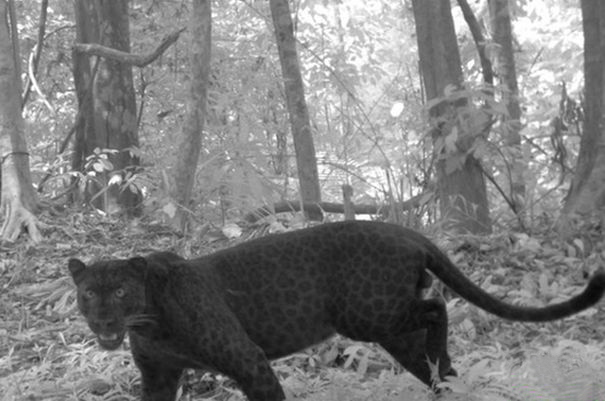 the-black-leopard-6