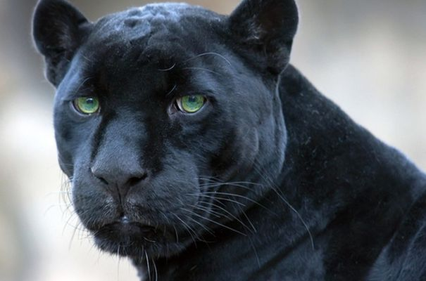 the-black-leopard1